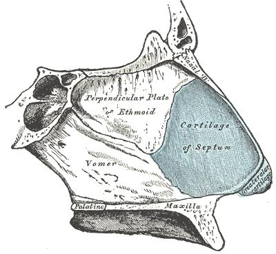 Deviated Septum, Nasal Septum Anatomy